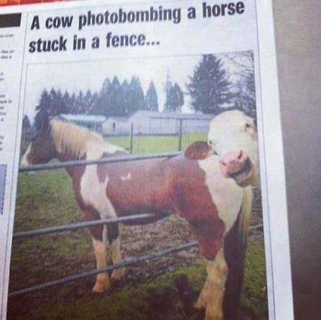 Cow-photobombs-a-horse-stuck-in-a-fence